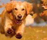 dog-running-through-leaves-150x150